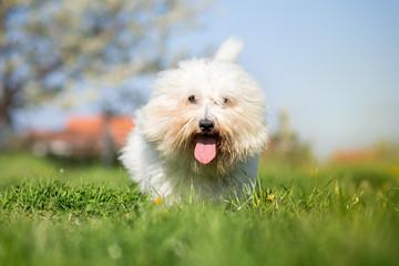 Coton de tulear dog portrait on bright sunny day