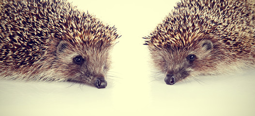 Two forest nice prickly hedgehogs