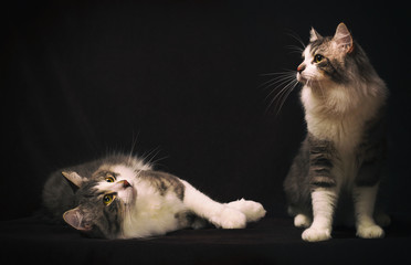 two cats on dark background, vintage colors