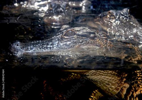 Tuinposter Krokodil Alligator