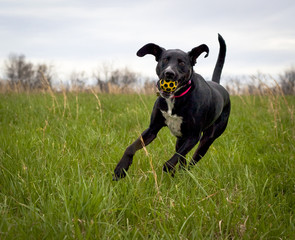 running black dog with yellow ball