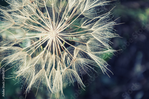 Keuken foto achterwand Bestsellers Macro image of big beautiful dandelion