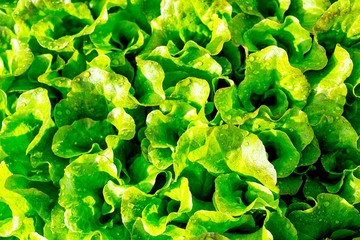green salad leaves in the garden of farmer