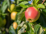 Apfel - Elstar - Apfelbaum - Gesundheit - Fitness