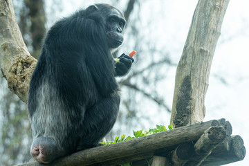 Ape chimpanzee monkey eating a carrot