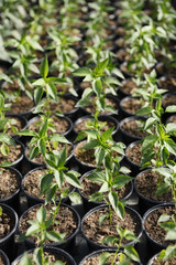 Young plant saplings