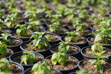 Hot Pepper Saplings in Pots