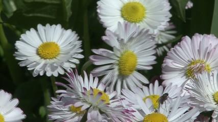 Flowering alpine plants