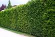 Cut hedge of Thuja - 81653210