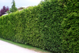 Cut hedge of Thuja
