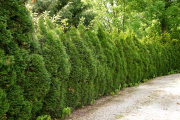 Hedge of  Thuja