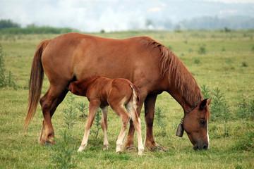 brown foal breastfeeding in the field