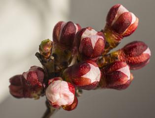 Apricot flower bud