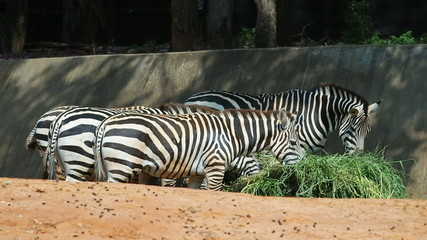 Zebra feeding, eating grass.60 FPS.