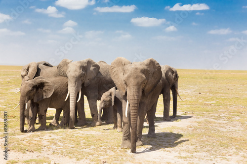 Papiers peints Elephant Loxodonta africana, African bush elephant.