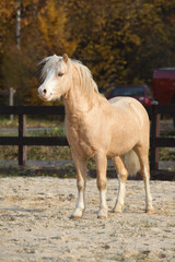 Amazing welsh mountain pony stallion in autumn