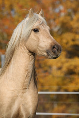 Amazing welsh pony of cob type stallion