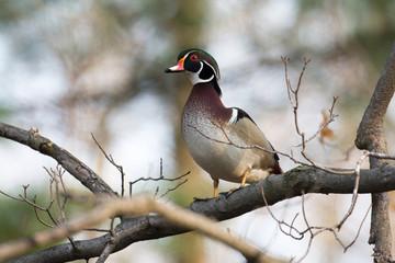 Wood duck in tree