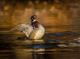 Wood duck flapping its wings