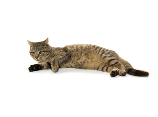 Tabby kitten laying down on white background