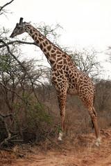 Girafe qui broute au bord du chemin