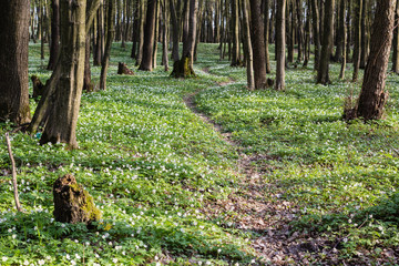 lane path in green spring forest full of white flowers landscape