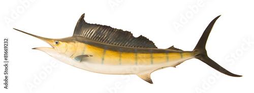 sailfish flying midair isolated white background - 81669232