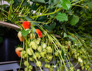 Ripening strawberries in a modern greenhouse from close