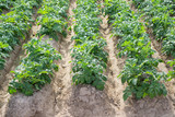 Side view of potato plantation rows and furrows poster