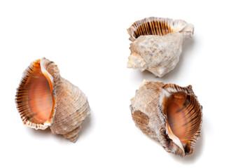 Three empty shells from rapana venosa