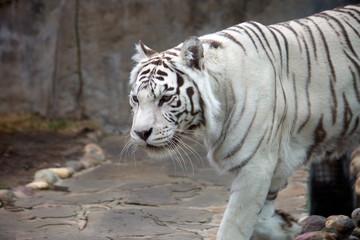 Бенгальский (белый) тигр.