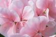 Closeup petal of geranium.