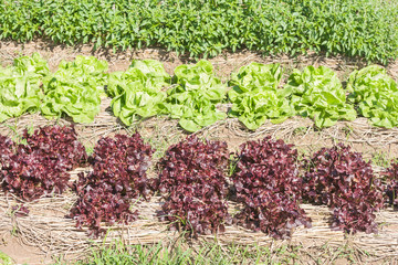 Red lettuce in plots covered with straw.