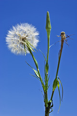 dandelion as a symbol of the swiftness of life