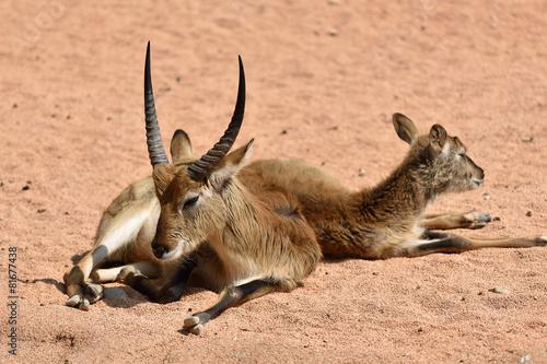 Fotobehang Antilope antilope di Maria gray