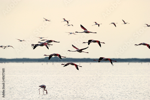 Foto op Aluminium Flamingo Group of Greater Flamingo flying in sunset