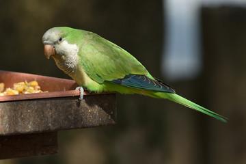 pappagallino verde