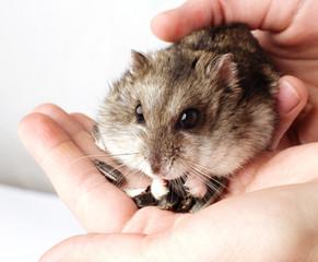 Djungarian hamster in the hands
