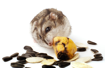hamster holding a old banana.
