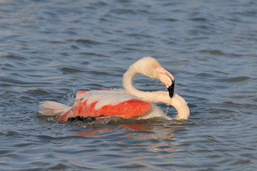 Greater Flamingo cleaning his feathers in water.