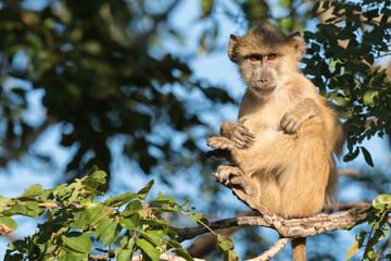 Young Yellow baboon (Papio cynocephalus) sitting in a zen-like p