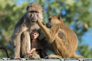 Yellow baboon (Papio cynocephalus) mother daughter and baby