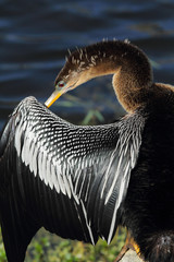 Anhinga in profile with its bill under its wing, preening.
