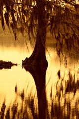 Cypress tree draped with moss in South Carolina.