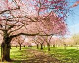 Japanischer Kirschblütentraum im Frühling :)