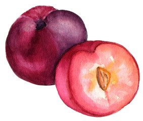 Watercolor drawing of whole plum and half on white background