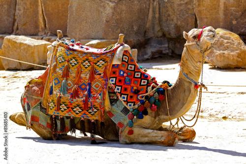 Foto op Aluminium Kameel Camel sit