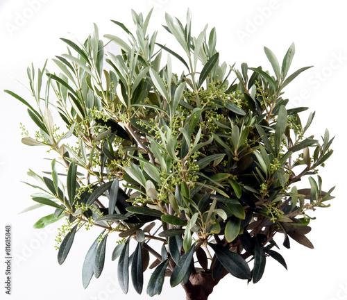 Tuinposter Olijfboom Olivenbaum isoliert