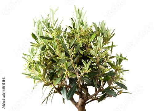 Staande foto Olijfboom Olivenbaum im eigenen Garten