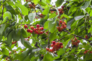 Red cherry on tree